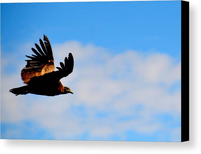 Flying Canvas Print featuring the photograph Flying Condor by Harry Coburn