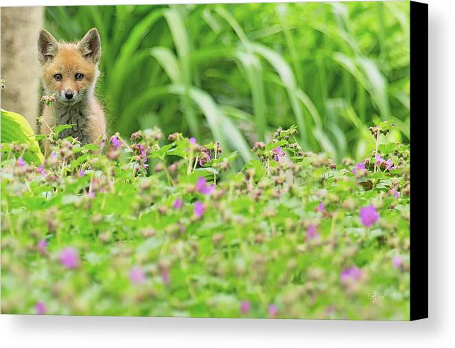 Red Canvas Print featuring the photograph Fox In The Garden by Everet Regal