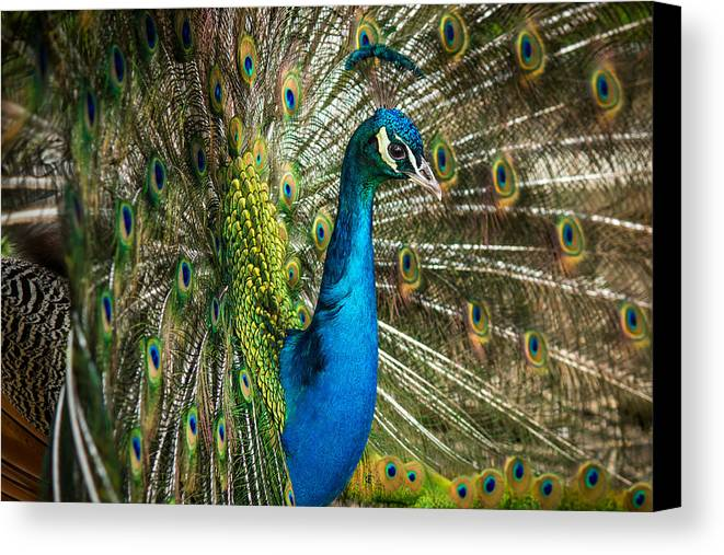 Peacock Canvas Print featuring the photograph Framed In Feathers by Diane Moore