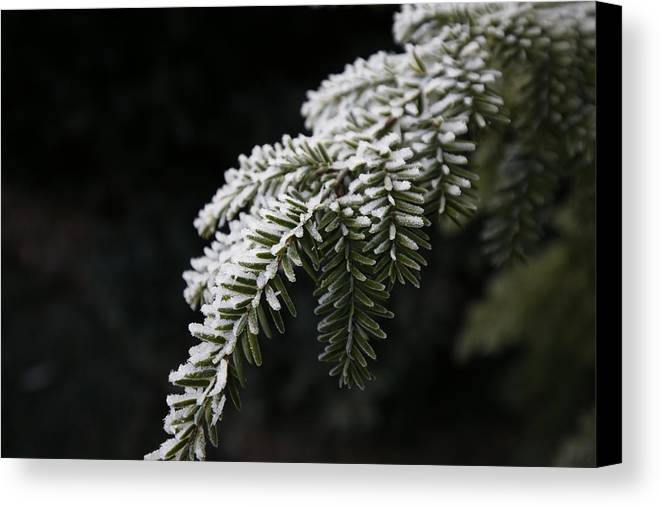 Digital Canvas Print featuring the photograph Frost On Pine by Jeff Roney