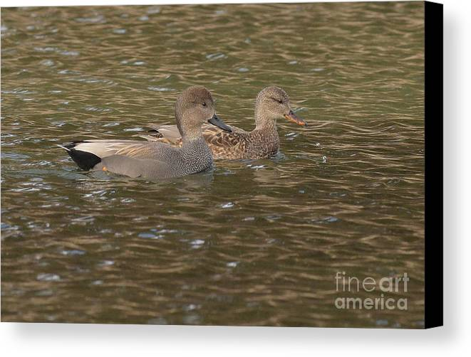 Bird Canvas Print featuring the photograph Gadwall Pair by Charles Owens