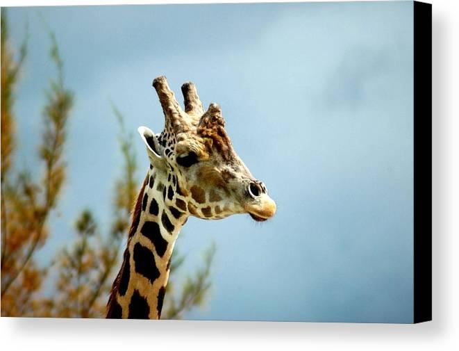 Giraffe Canvas Print featuring the photograph Giraffe Sky High by Neil Oxenburg