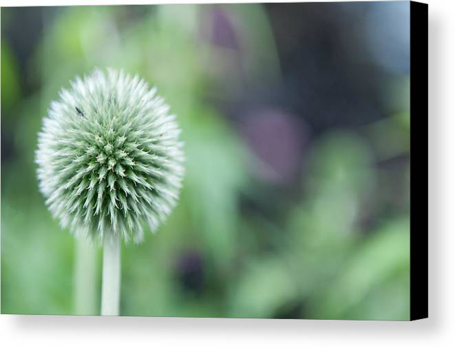 Globe Thistle Canvas Print featuring the photograph Globe Thistle by Helen Northcott