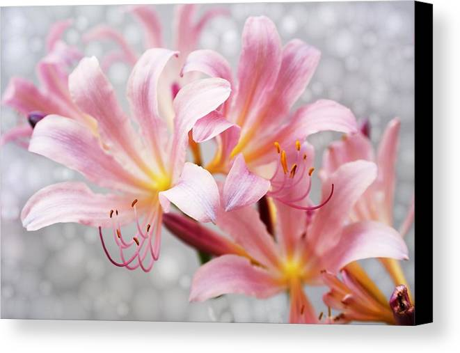 Lily Canvas Print featuring the photograph Glowing Surprise Lily by Jim Darnall