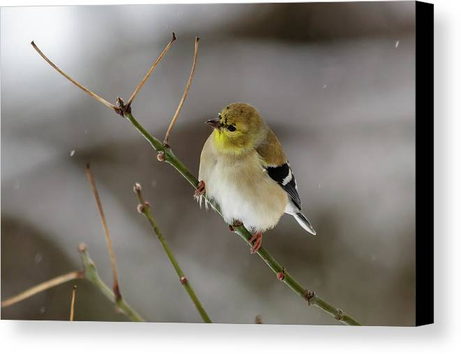 Wild Canvas Print featuring the photograph Gold Finch by Jim Johnson