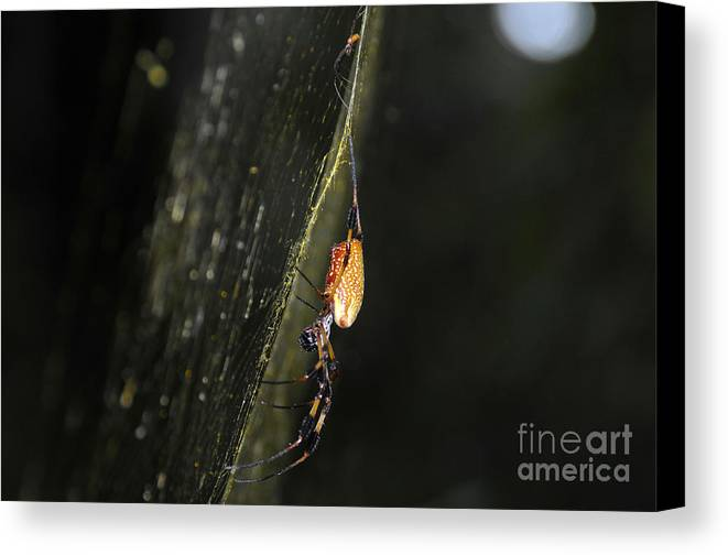 Golden Orb Spider Canvas Print featuring the photograph Golden Orb Spider by David Lee Thompson