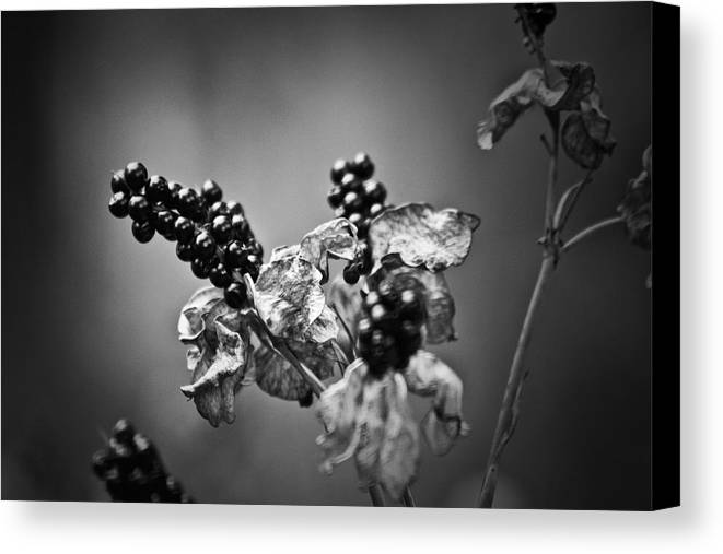 Flower Canvas Print featuring the photograph Gone To Seed Blackberry Lily by Teresa Mucha