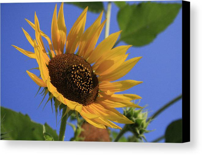 Flowers Canvas Print featuring the photograph Good Morning by Alan Rutherford