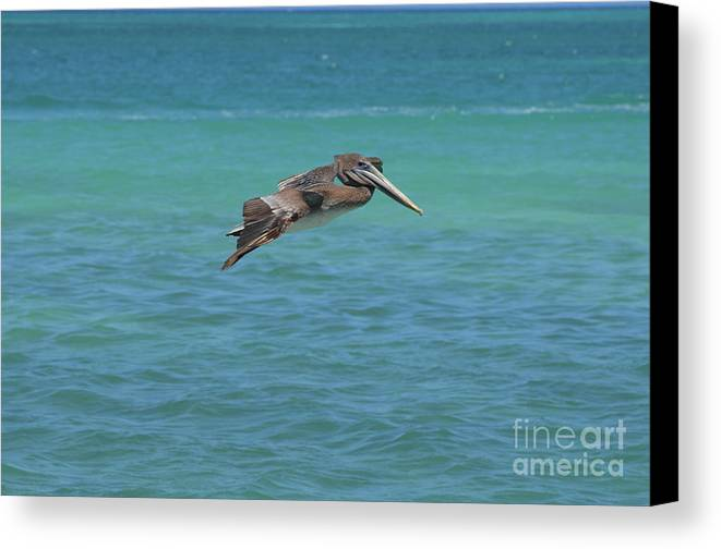 Pelican Canvas Print featuring the photograph Gorgeous Grey Pelican With His Wings Extended In Flight by DejaVu Designs