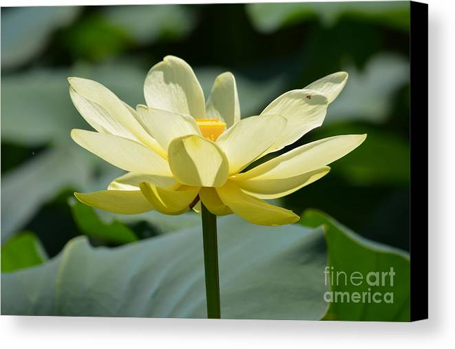 Gorgeous Lotus Flower Prints Canvas Print featuring the photograph Gorgeous Lotus Flower by Ruth Housley