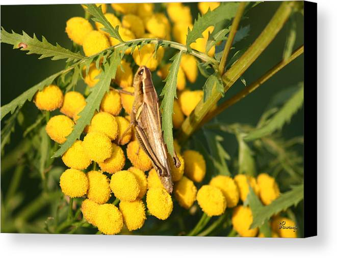 Bug Grasshopper Plants Flowers Nature Yellow Wild Life Green Weed Canvas Print featuring the photograph Grasshopper by Andrea Lawrence