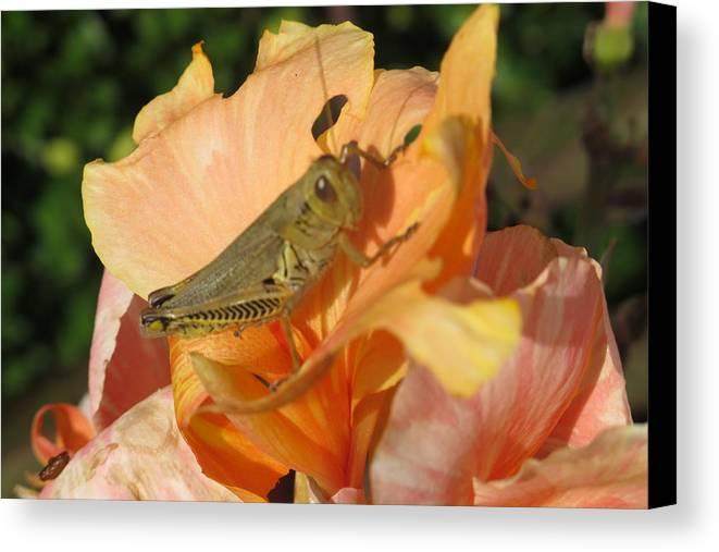 Grasshopper Canvas Print featuring the photograph Grasshopper by Cindy Kellogg