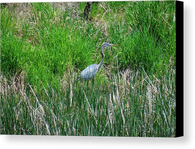 South Dakota Canvas Print featuring the photograph Great Blue Heron Series 1 Of 10 by M Dale
