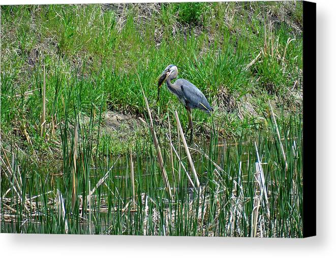 South Dakota Canvas Print featuring the photograph Great Blue Heron Series 5 Of 10 by M Dale