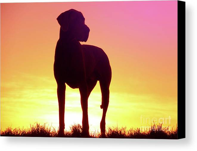 Great Dane Canvas Print featuring the photograph Great Dane Silhouette by Angela Edwards-Warburton