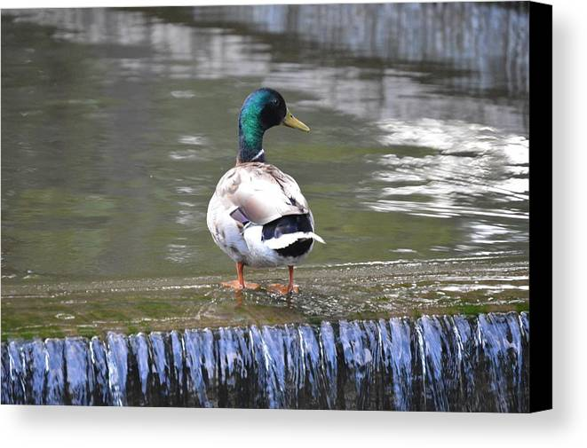 Duck Lake Swim Loose Park Kansas City Canvas Print featuring the photograph Great Day For A Swim by Katie LeMae Creative Photography