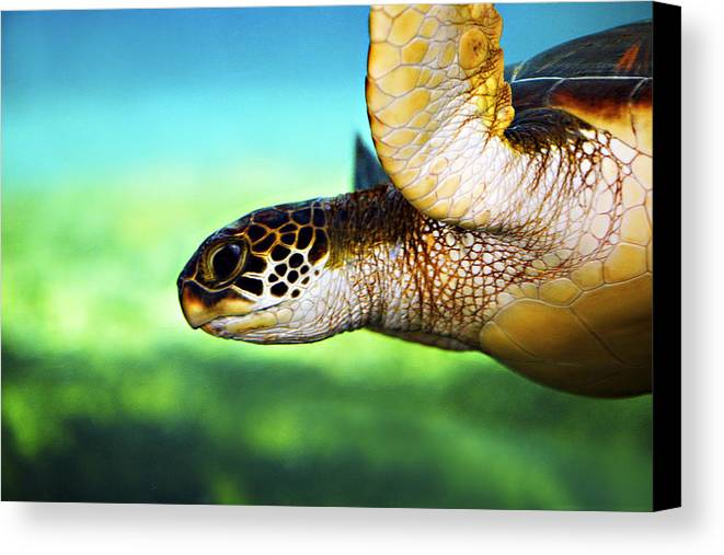 Green Canvas Print featuring the photograph Green Sea Turtle by Marilyn Hunt