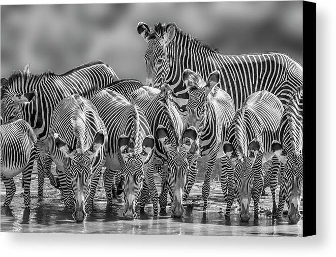 Africa Canvas Print featuring the photograph Grevy Zebra Party 7528bw by Karen Celella
