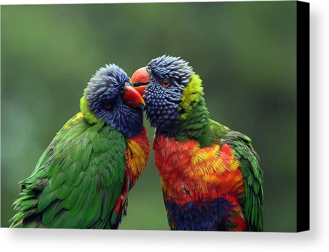 Lorikeets Canvas Print featuring the photograph Grooming In The Rain by Lesley Smitheringale