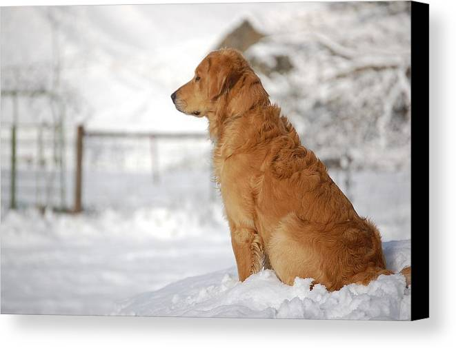 Golden Retriever Canvas Print featuring the photograph Guard by Laura Mountainspring