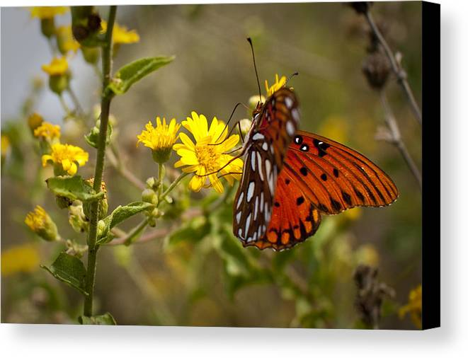 Gulf Fritillary Canvas Print featuring the photograph Gulf Fritillary Agraulis Vanillae Red Butterfly by Dustin K Ryan