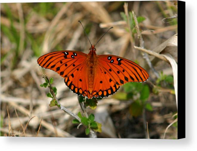 Butterfly Canvas Print featuring the photograph Gulf Fritillary by Frank Russell