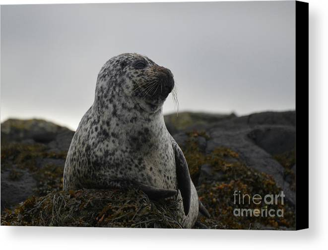 Seal Canvas Print featuring the photograph Harbor Seal In Stormy Weather by DejaVu Designs