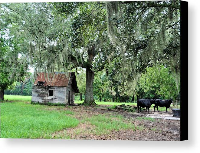 Landscapes Canvas Print featuring the photograph Havana Steers by Jan Amiss Photography
