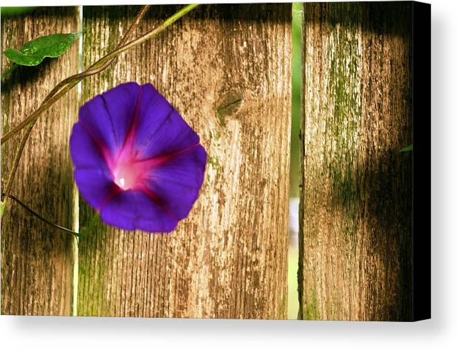 Morning Glory Canvas Print featuring the photograph Heaven With Morning Glory by Ruben Barbosa
