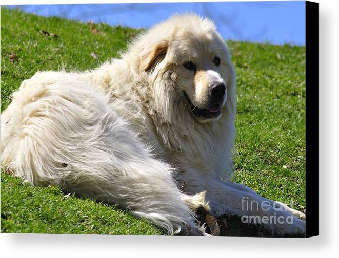 Great Pyrenees Canvas Print featuring the photograph Hillside Watch by Thomas R Fletcher