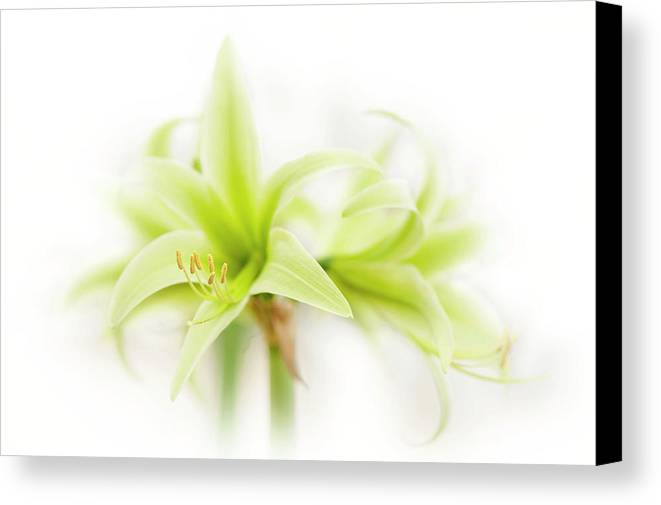 Hippeastrum Canvas Print featuring the photograph Hippeastrum Evergreen by Jacky Parker
