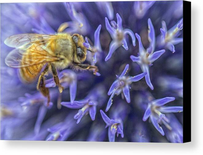 Honey Bee Canvas Print featuring the photograph Honey Bee On Globe Allium by Constantine Gregory