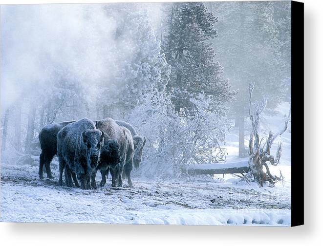 Yellowstone Canvas Print featuring the photograph Huddled For Warmth by Sandra Bronstein