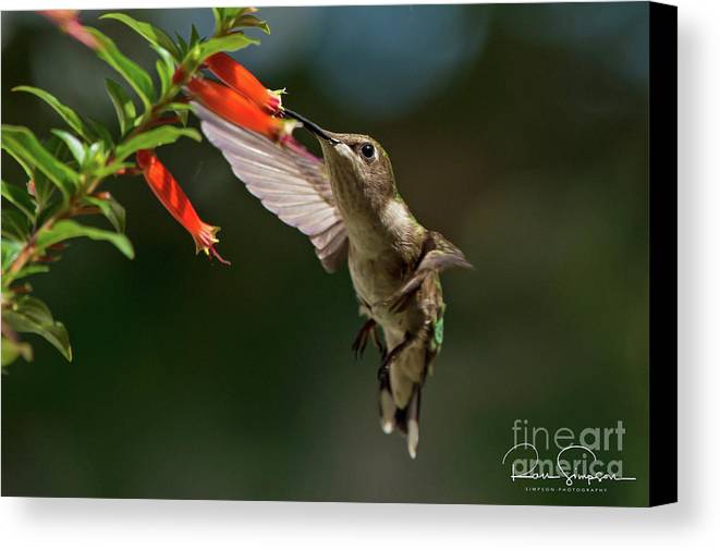 Canvas Print featuring the photograph Hummingbird #5 by Ron Simpson