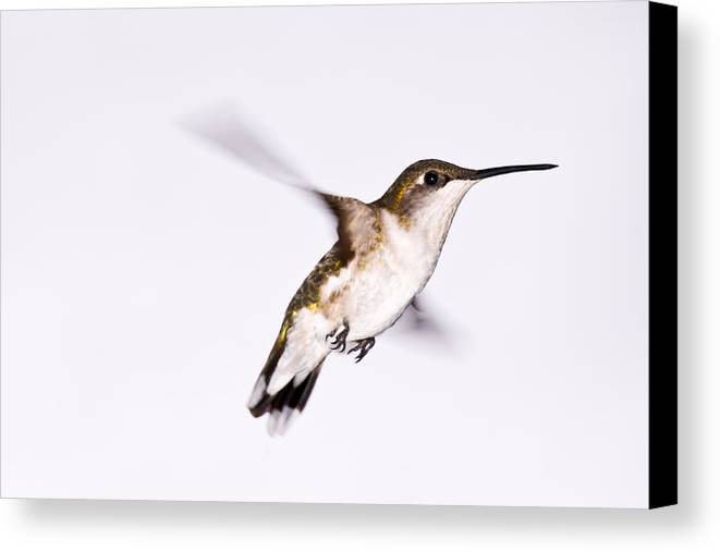 Hummingbirrd Canvas Print featuring the photograph Hummingbird by Edward Myers