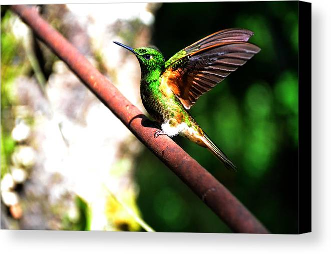 Hummingbird Canvas Print featuring the photograph Hummingbird by Harry Coburn
