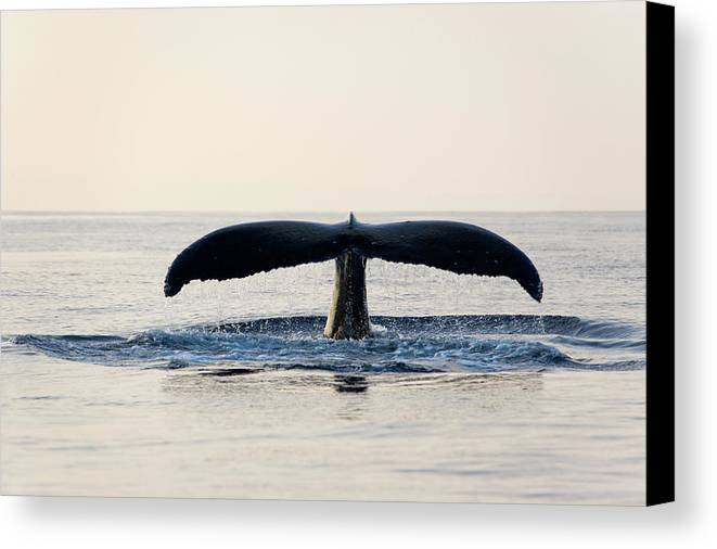 Horizontal Canvas Print featuring the photograph Humpback Whale Fluke by M Sweet