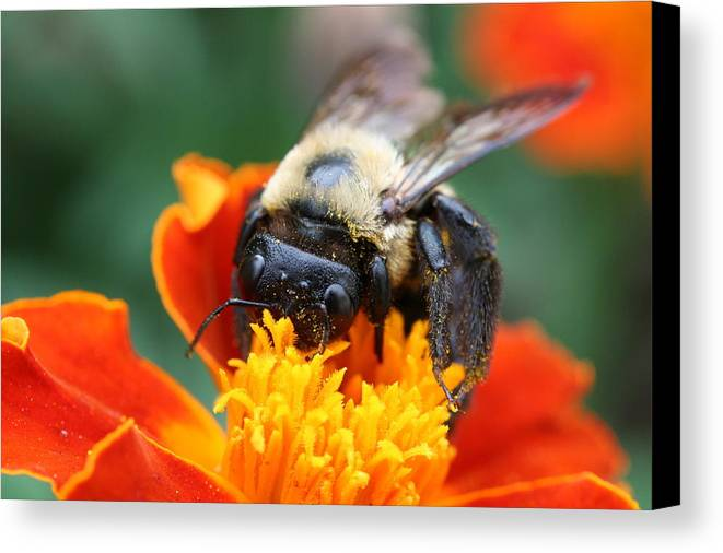Bug Canvas Print featuring the photograph I Like Pollen by Jason Hochman
