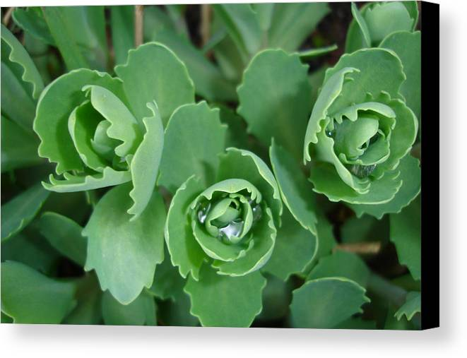 Green Canvas Print featuring the photograph Ice Plant by Susan Baker