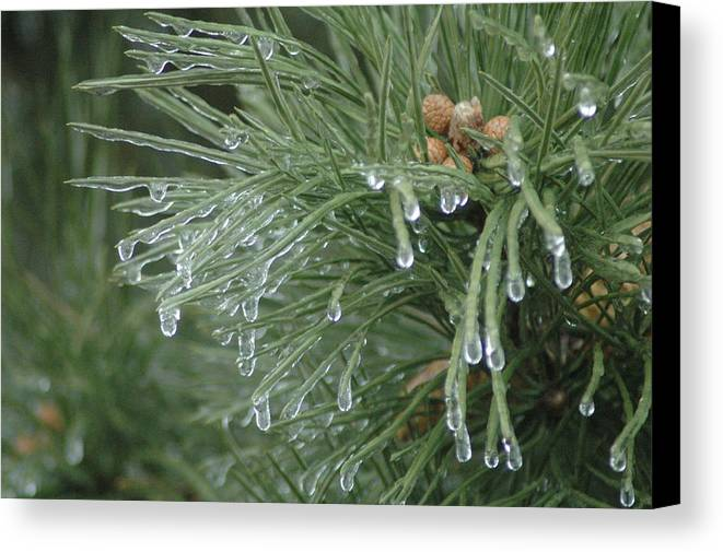 Nature Canvas Print featuring the photograph Iced Pine by Kathy Schumann