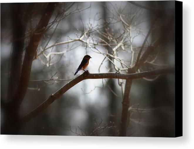 Eastern Bluebird Canvas Print featuring the photograph Img_2287 - Eastern Bluebird by Travis Truelove