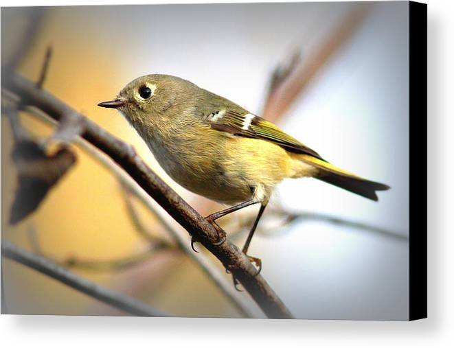 Ruby-crowned Kinglet Canvas Print featuring the photograph Img_5993 - Ruby-crowned Kinglet by Travis Truelove