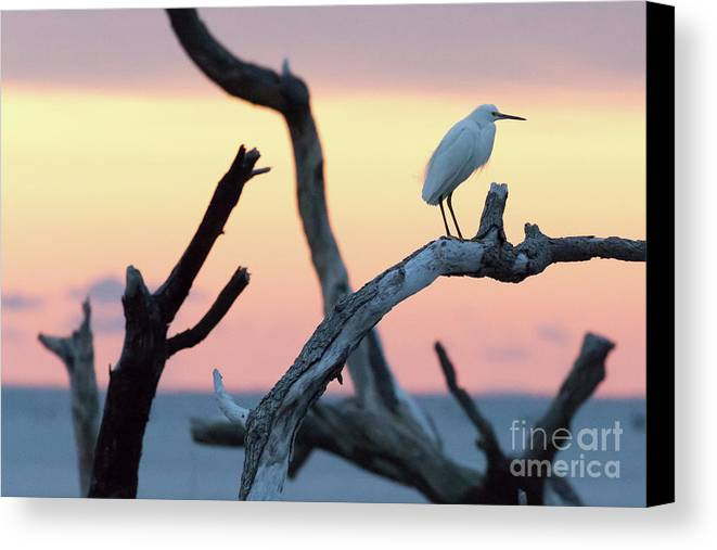 Immature Heron Canvas Print featuring the photograph Immature Heron Glow by Robert Loe