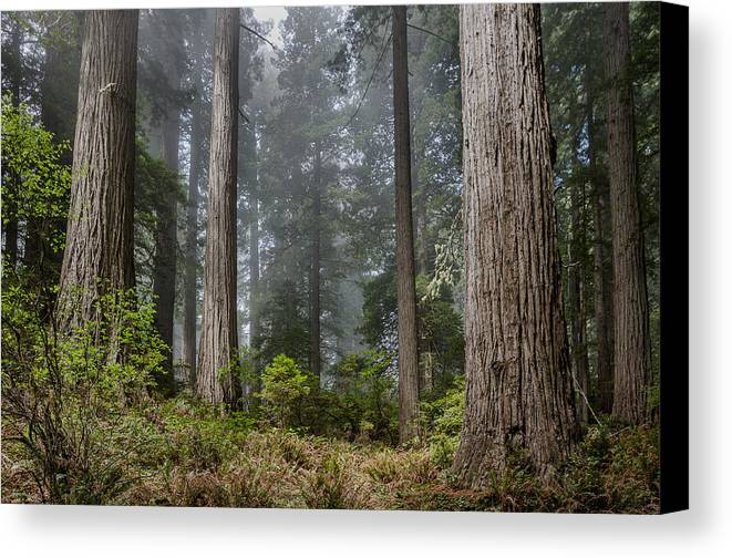 Redwoods Canvas Print featuring the photograph Into The Redwood Forest by Greg Nyquist