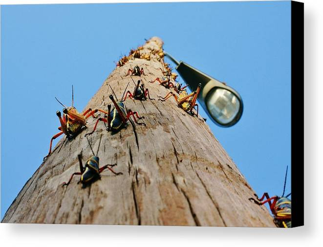 Grasshoppers Canvas Print featuring the photograph Invasion Of The Lubbers by Lynda Dawson-Youngclaus