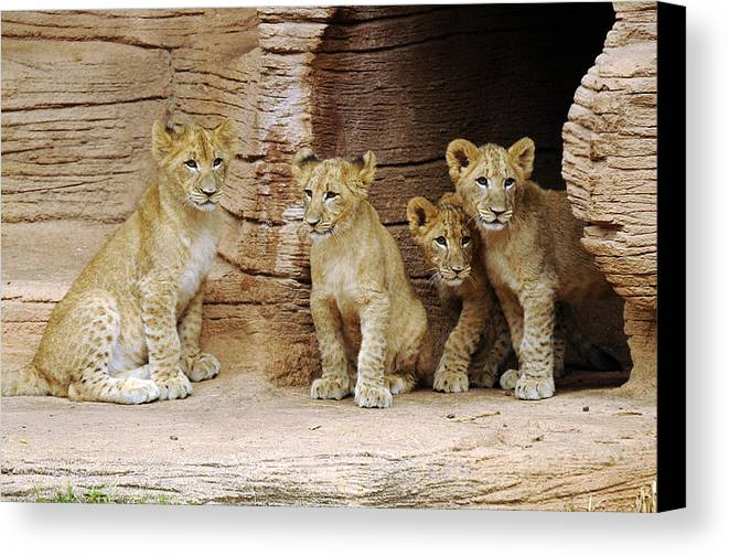 Lion Canvas Print featuring the photograph Is It Still There by Keith Lovejoy