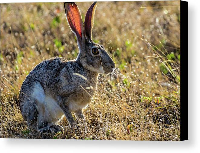 Jack Rabbit Canvas Print featuring the photograph Jack Rabbit by Bob Marquis