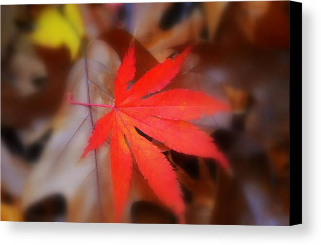 Autumn Image Canvas Print featuring the photograph Japanese Maple Leaf by Marla McPherson