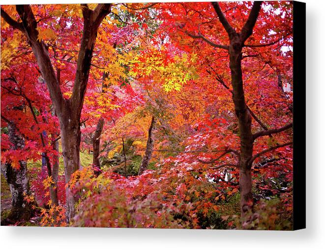 Horizontal Canvas Print featuring the photograph Japanese Maple Trees by I love Photo and Apple.