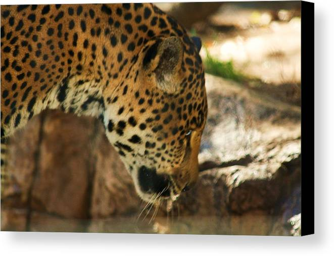 Jaquar Canvas Print featuring the photograph Jaquar Drinking Water by Russell Barton